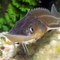 Подвохи вредят стерляди: Ученые хотят защитить стерлядь от подводной охоты