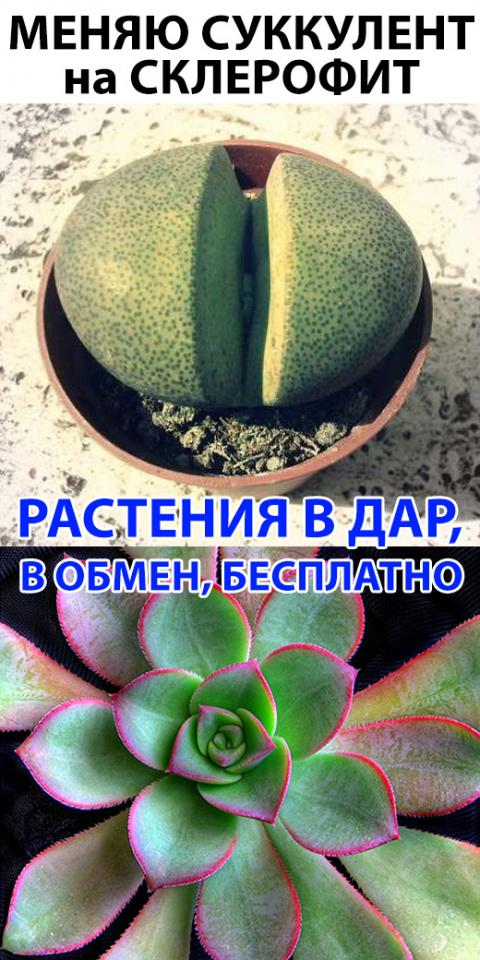 Обмен растениями, растения в дар, растения бесплатно, отдам цветок, подарю цветок, редкие растения, цветок парашют,  лагенария, редкие цветы, СУККУЛЕНТЫ И СКЛЕРОФИТЫ, СУККУЛЕНТ, СКЛЕРОФИТ