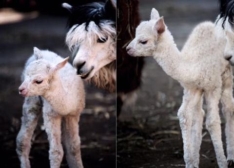 В московском зоопарке впервые родился детеныш альпаки