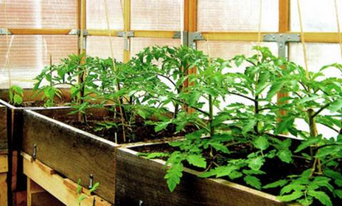 Подкормка рассады помидоров …