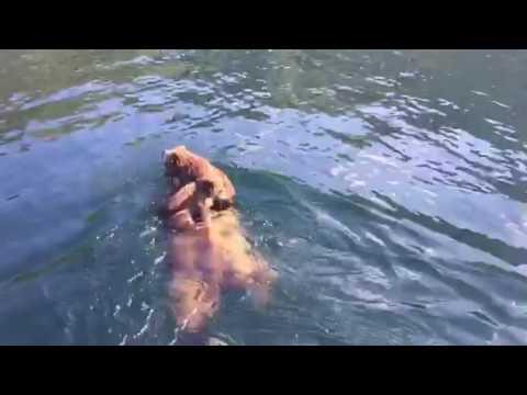 Изумительно: рыбаку удалось заснять на видео, как мама-гризли переправляет через реку своих деток