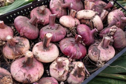 Хранение и лечение луковичных цветов
