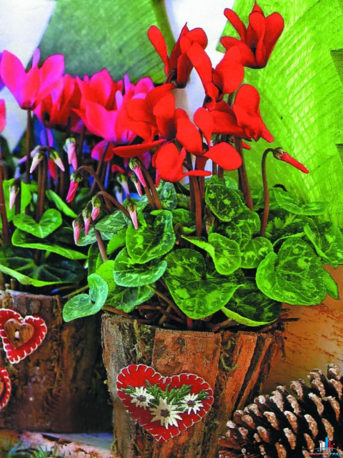Украшение цветами. Шикарные цикламены