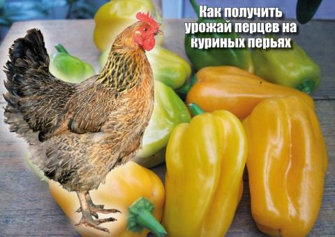 Отличный урожай перцев на... куриных перьях