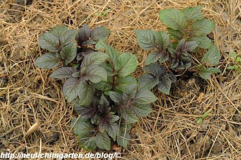 Выращиваем картофель под травой