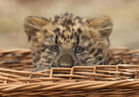 Маленький северокитайский леопард