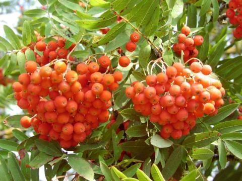 Лекарственные ягоды которые заготавливают осенью
