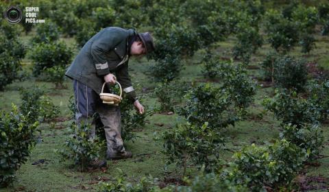 Английский чай, экспортируем…