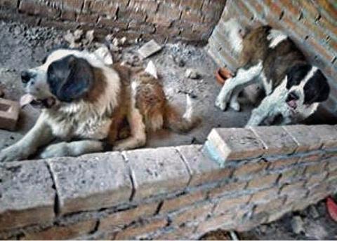Эти собаки провели четыре года на тесном и грязном балконе