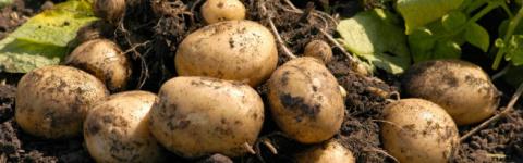 Как сажать картошку, чтобы п…