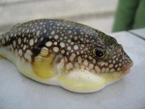 Севастопольские рыбаки поймали две ядовитые рыбы фугу