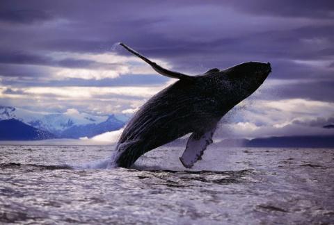 Моряк в открытом океане спас кита, запутавшегося в сетях