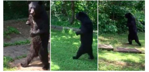 Охотник застрелил любимца публики, прямоходящего медведя