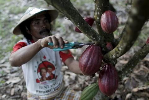 Какао на плантации в Южной Сулавеси