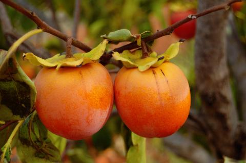 Посреди сибирской тайги в морозы -40 зреют мандарины и хурма!