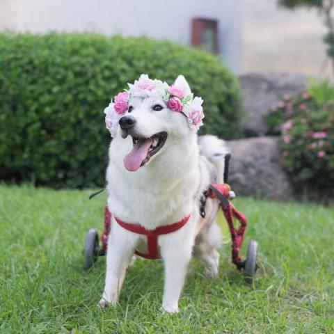 Хаски, родившаяся без лап, нашла хозяйку и стала самой счастливой собакой