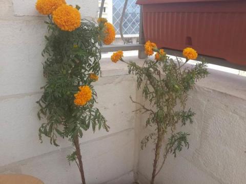Бархатцы растут на балконе. …