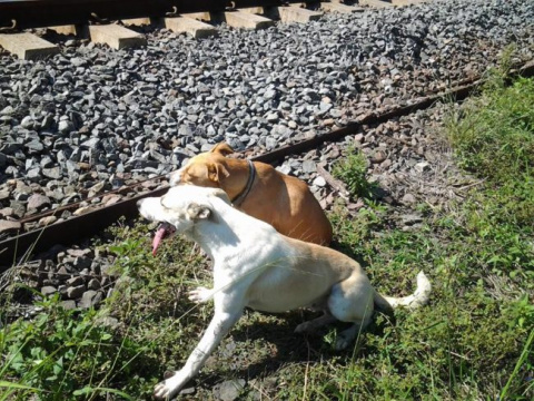 Когда подруга была ранена, этот пес-герой отказался ее бросить
