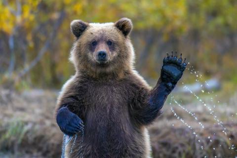 Только политика. Козёл и медвежонок 7