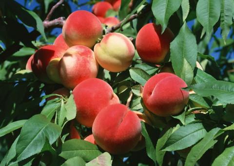 Выращивание персика из косточки. Пикирование . Для просмотра видео жми здесь