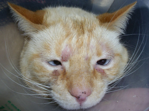 КОШКИН ДОМ. Аллергия у кошек…