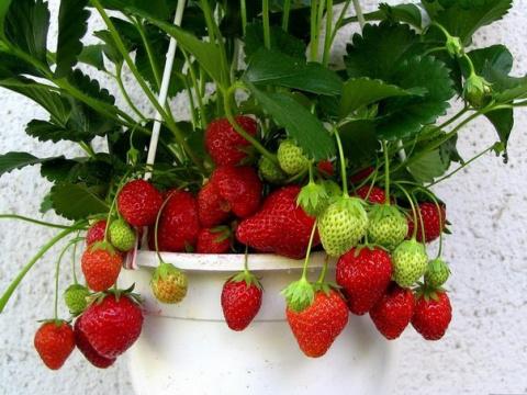 Способы выращивания садовой земляники в домашних условиях