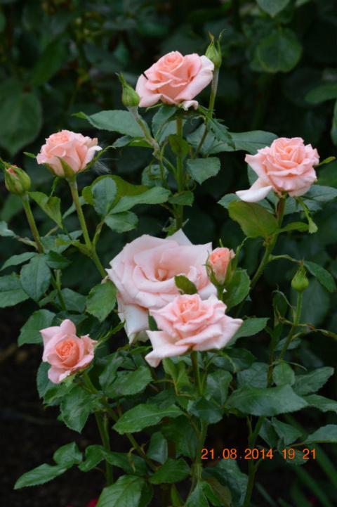 Розы нашего сада. Часть 4. Б…