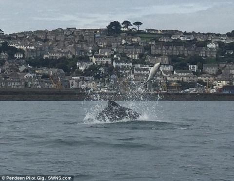 Редкие кадры: дельфины выбрасывают из воды своего собрата
