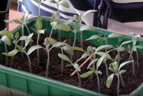Как распикировать томаты - самый наглядный мастер-класс