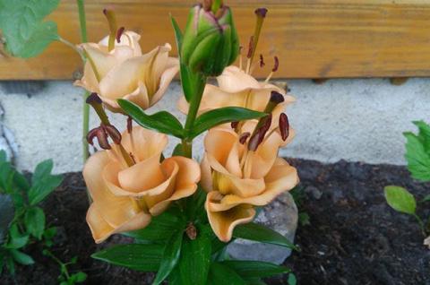 Лилия-тюльпан. Чем интересен сорт Apricot Fudge
