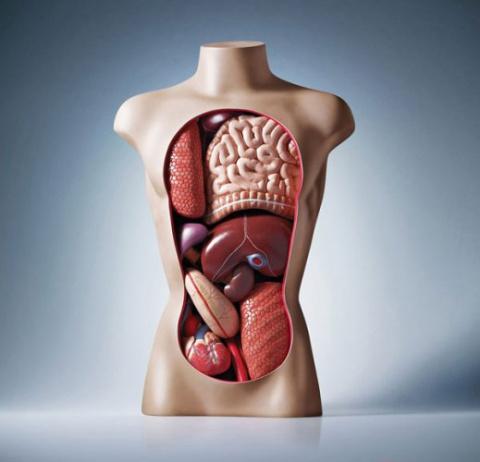 Без каких органов можно жить