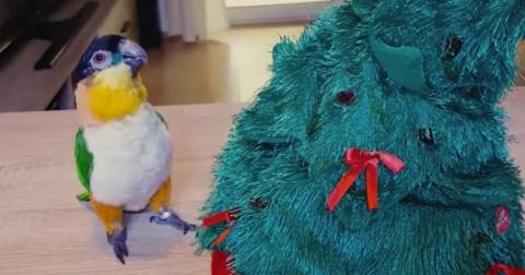 Предновогодняя драка попугая…