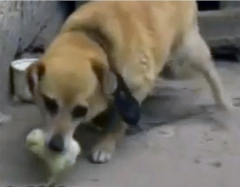 Когда собака схватила цыплёнка, все ожидали чего-угодно, но только не этого