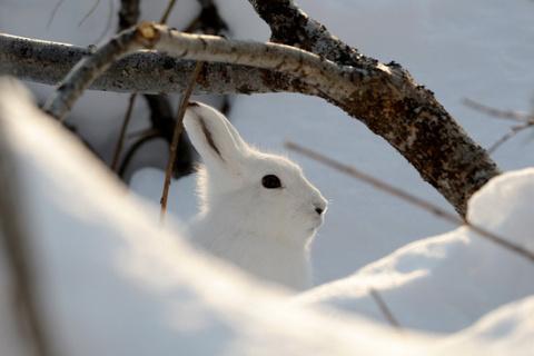 Зайцев жалко, но деревья тоже: защищаем сад от грызунов