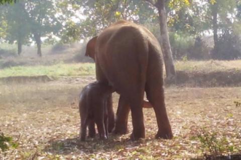 Индийский слоненок упал в ко…
