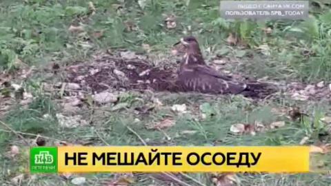 Птица осоед поохотилась в одном из петербургских дворов