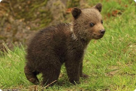 Архангельские охотники спасли медвежонка из капкана