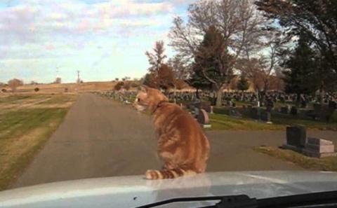 Бесстрашный кот любит кататься на капоте автомобиля