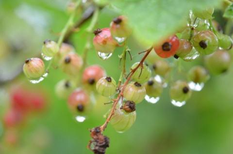 Чем грозит растениям дождливое и холодное лето?