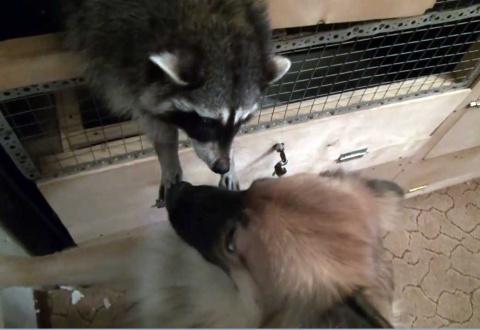 Начало дружбы енота и пса (видео)