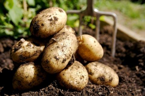 Сейчас самое время выкопать картофель и грамотно подготовить его к хранению
