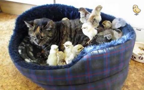 Желторотое потомство: кот стал отцом для цыплят