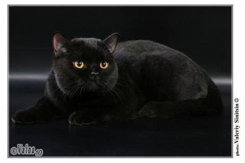 Черная кошка - моя любимица.