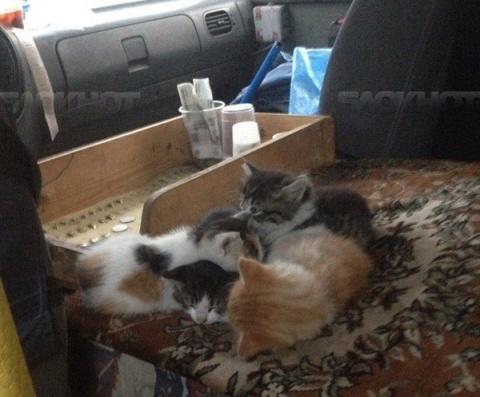 Водитель маршрутки поселил в своем микроавтобусе котят