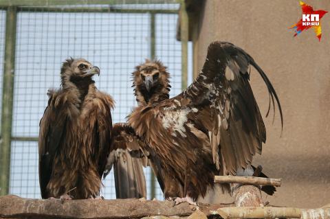 Самой романтичной парой в птичьем мире оказались... грифы