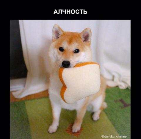 Забавная собака породы сиба-…
