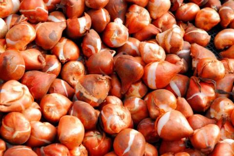 Выкапываем луковичные