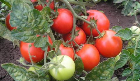 Нужен ли томатам йод?
