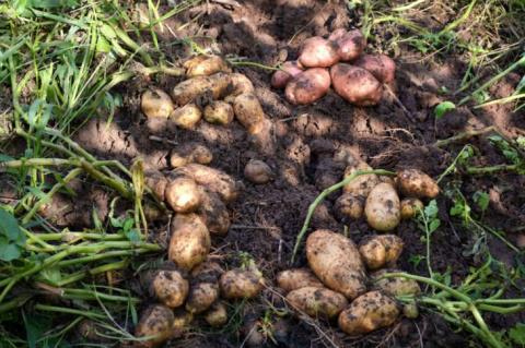 Сорта картофеля на любой вку…