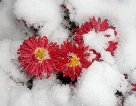Хризантемы украшают сад до снега